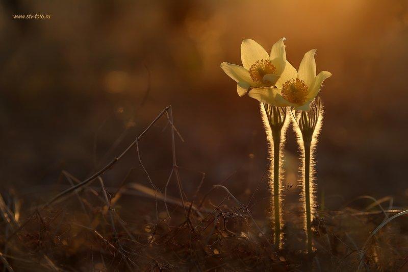 макро, природа, цветы, подснежники, сон-трава, весна Двоеphoto preview