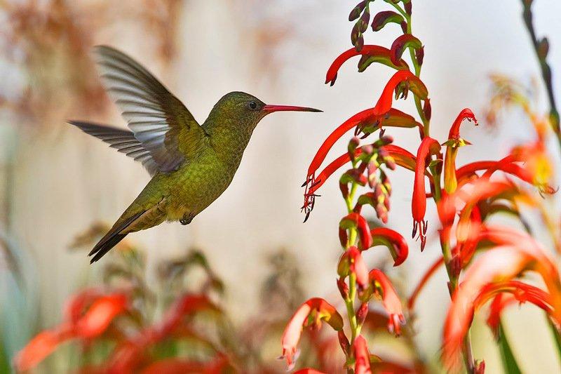 птицы, уругвай Золотистый сапфирphoto preview