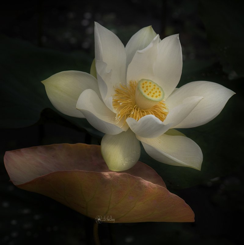 Lotus #2photo preview