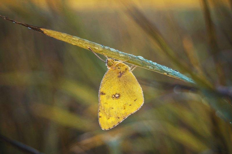 природа  утро рассвет роса трава насекомые бабочка макро В лучах рассвета...photo preview