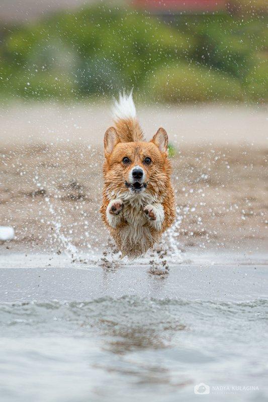dog, pet, animal, mammal, pembroke, fly, jump, soar, water, bathe, fun, run, action, action photography Soaringphoto preview