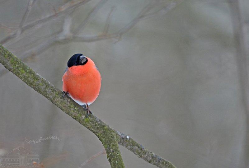 птицы, снегирь, birdwatching, дикая природа, birds Зимнее яблочкоphoto preview