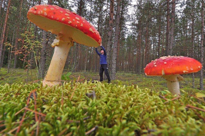 лес, грибы, мухоморы, природа, ракурс, юмор Мухоморы , мухоморы а я маленький такой.photo preview