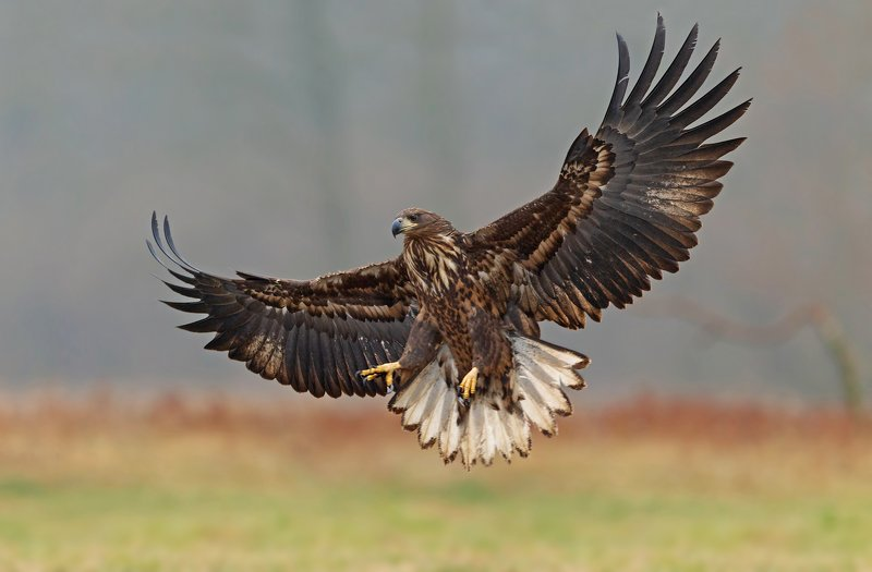 white-tailed eaglephoto preview