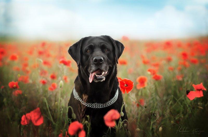 анималистика, портрет, природа, собака Маковое полеphoto preview