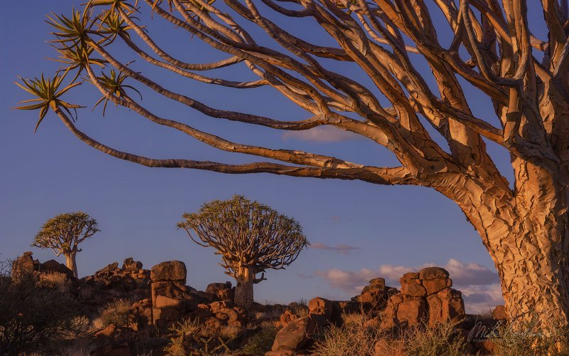 quiver, trees;, dolerite;, rock, formations;, keetmanshoop;, namibia;, aloidendron, dichotomum;, aloe;, namib, desert;, kokerboom Алоеphoto preview
