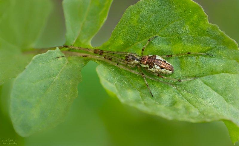 макро, природа, пауки, macro, nature, spiders, Пауки-тетрагнатидыphoto preview