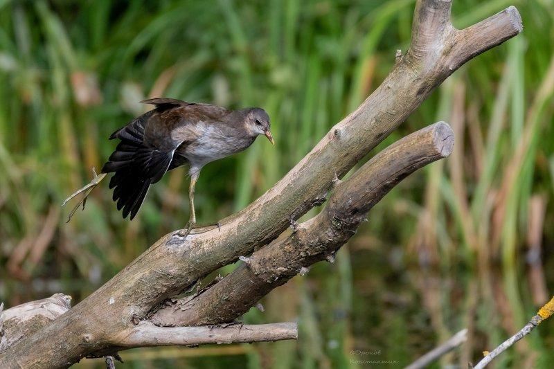 камышница, птицы, лето, фотоохота Упражнения на бревнеphoto preview
